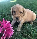 Travis - Goldendoodle puppy for sale at New Haven, Indiana