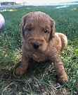 Timmy - puppie Goldendoodle for sale near New Haven, Indiana