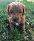 Toby - Goldendoodle doggie for sale in New Haven, Indiana