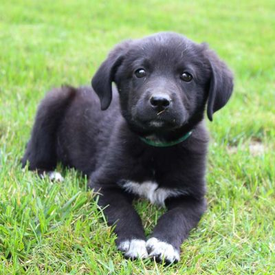 Spencer - male Lab-Blue Heeler mix pupper for sale at Grabill, Indiana