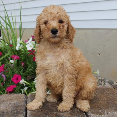 Matrix - Goldendoodle doggie for sale in Grabill, Indiana