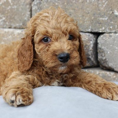 Cody - Goldendoodle pup for sale near Grabill, Indiana