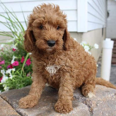 Carson - Goldendoodle puppy for sale in Grabill, Indiana