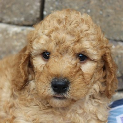 Lola - Goldendoodle pupper for sale near Grabill, Indiana