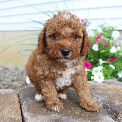 SOLD - ICA Cavapoo pupper for sale at Grabill, Indiana