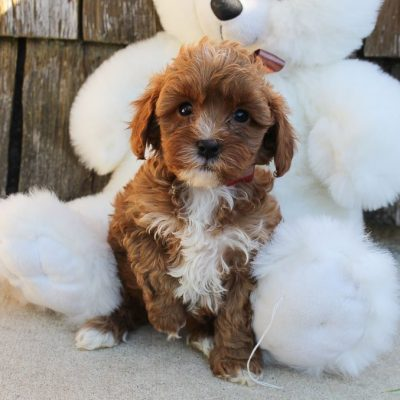 Marla - ICA Cavapoo pup for sale in Grabill, Indiana