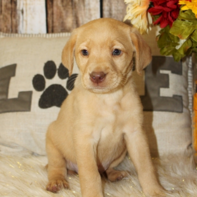 Casha - Labrador Retriever pupper for sale