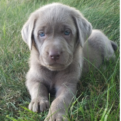 Judy – Labrador Retriever puppie for sale
