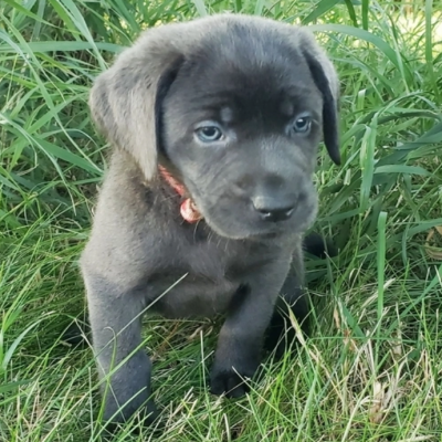 July – Labrador Retriever puppy for sale