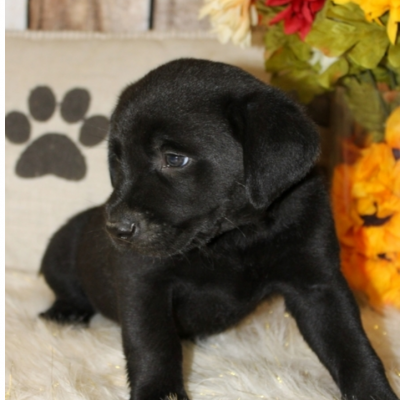 Luka – Labrador Retriever pup for sale