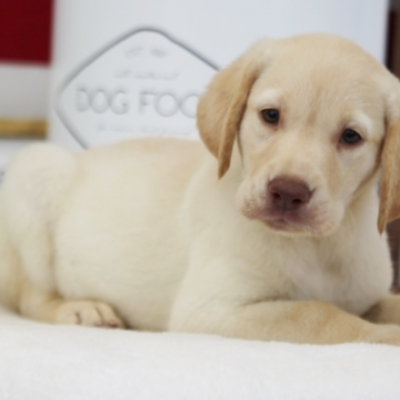Nova – Labrador Retriever doggie for sale