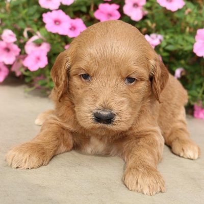 Misty - Goldendoodle pupper for sale near Woodburn, Indiana