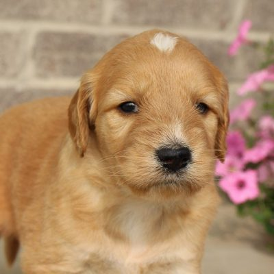 Pending - Goldendoodle pupper for sale near Woodburn, Indiana