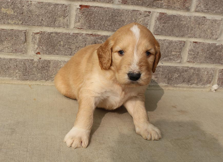 Terry - Goldendoodle male doggie for sale at Woodburn, Indiana