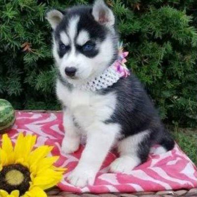 Casemoji - Siberian Husky doggie for sale