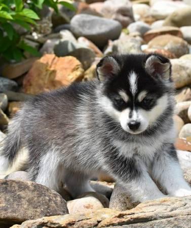 Anne - Siberian Husky pupper for sale