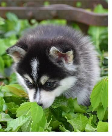 Atlas - AKC Siberian Husky pup for sale