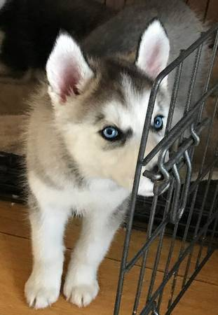 Carrie - female AKC Siberian Husky puppie for sale