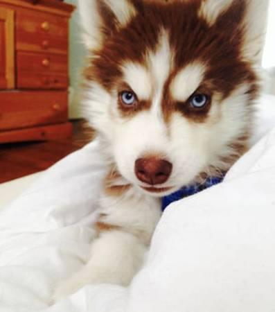 ALDEN - Siberian Husky pupper for sale