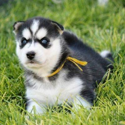Sambo - AKC Siberian Husky puppy for sale