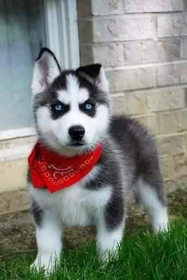 Musk - AKC Siberian Husky puppie for sale