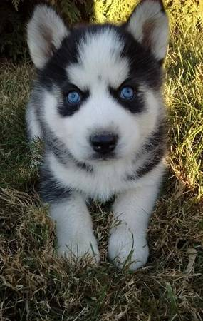 Tessa - AKC Siberian Husky doggie for sale