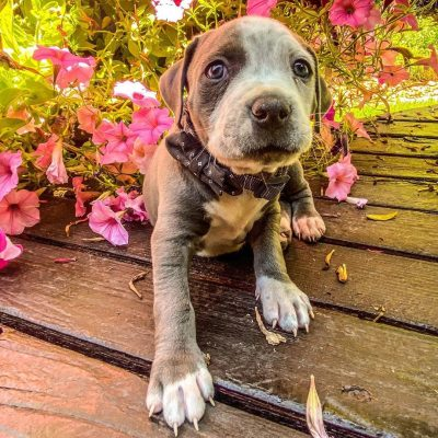 Grey - American Staffordshire Terrier doggie for sale at Wilmington, North Carolina