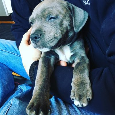 Teddy - American Staffordshire Terrier pupper for sale in Wilmington, North Carolina