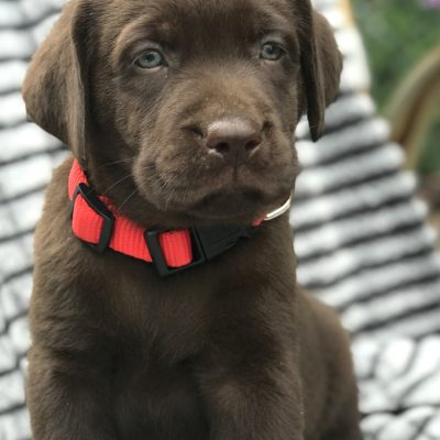 Country - Chocolate Labrador puppy for sale near New Holland, Pennsylvania