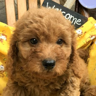 Glory - Mini Goldendoodle Female Puppy in Manheim, PA