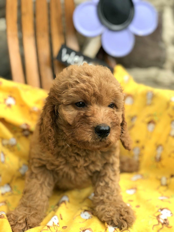Glory - Mini Goldendoodle Female Puppy in Manheim, PA