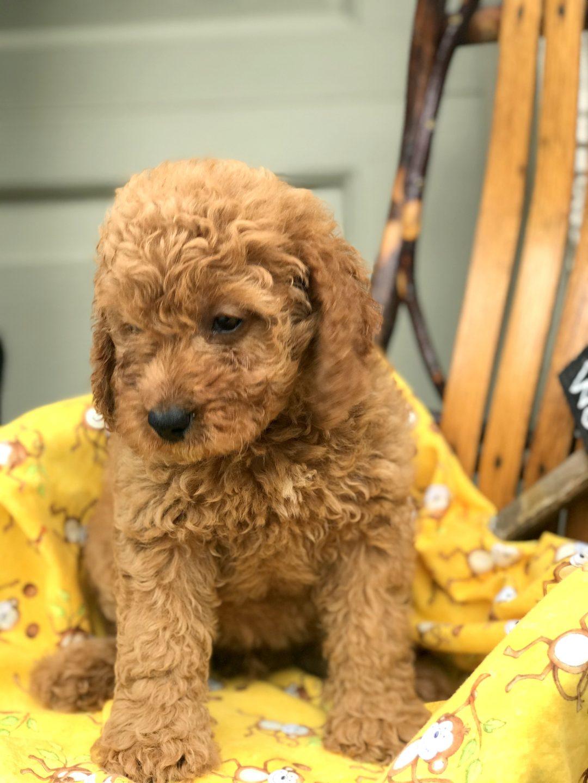 Gracie - Mini Goldendoodle Female Puppy in Manheim, PA