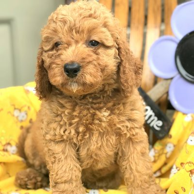 Gracie - Mini Goldendoodle Female Puppy in Manheim, PA