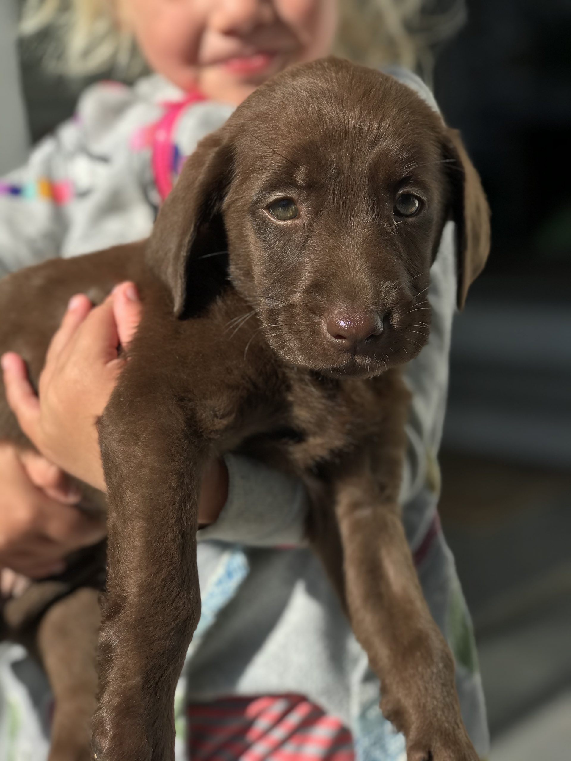 Brody – Male Chocolate Labrador Retriever Lab Puppy in Ephrata, PA