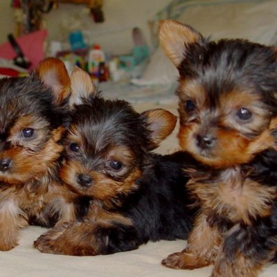 Celeb - AKC Yorkshire Terrier puppies for sale