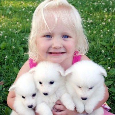 Joy - AKC American Eskimo puppers for sale