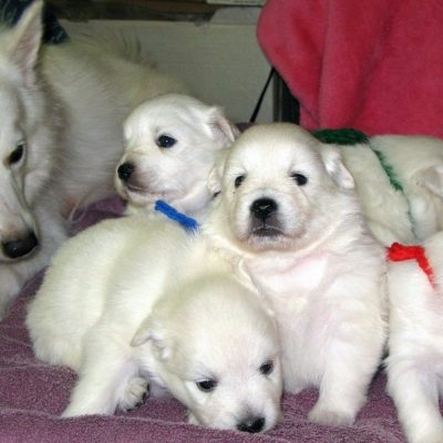Zara - JAPANESE SPITZ PUPPIES FOR SALE