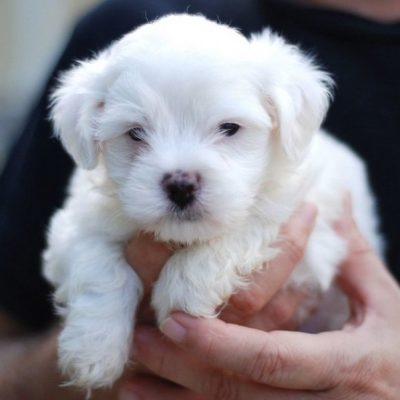 LUCKY - AKC Tea Cup Maltese pups for sale