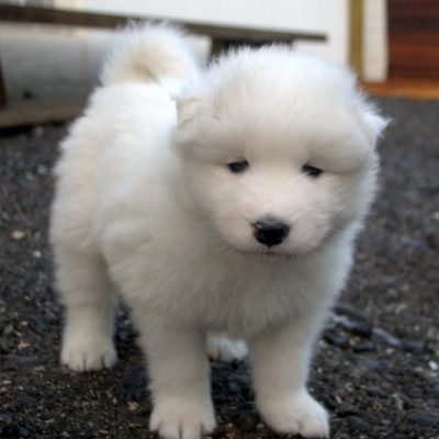 Diana - AKC Samoyed puppy for sale