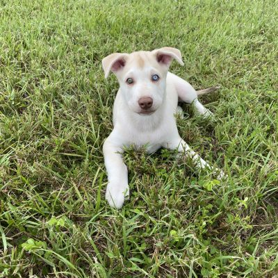 King - AKC Siberian Husky Mix puppy for sale at Brandon, Florida