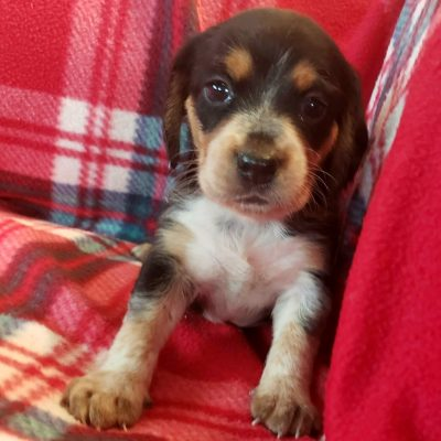 Arnie - Beagle pupper for sale in Sunbury, Pennsylvania