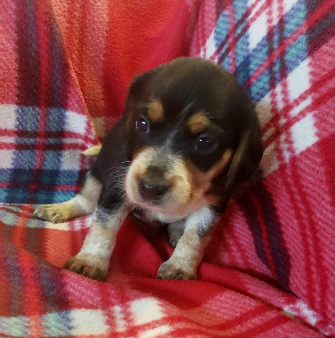 Arnie - Beagle pupper for sale in Sunbury, Pennsylvania