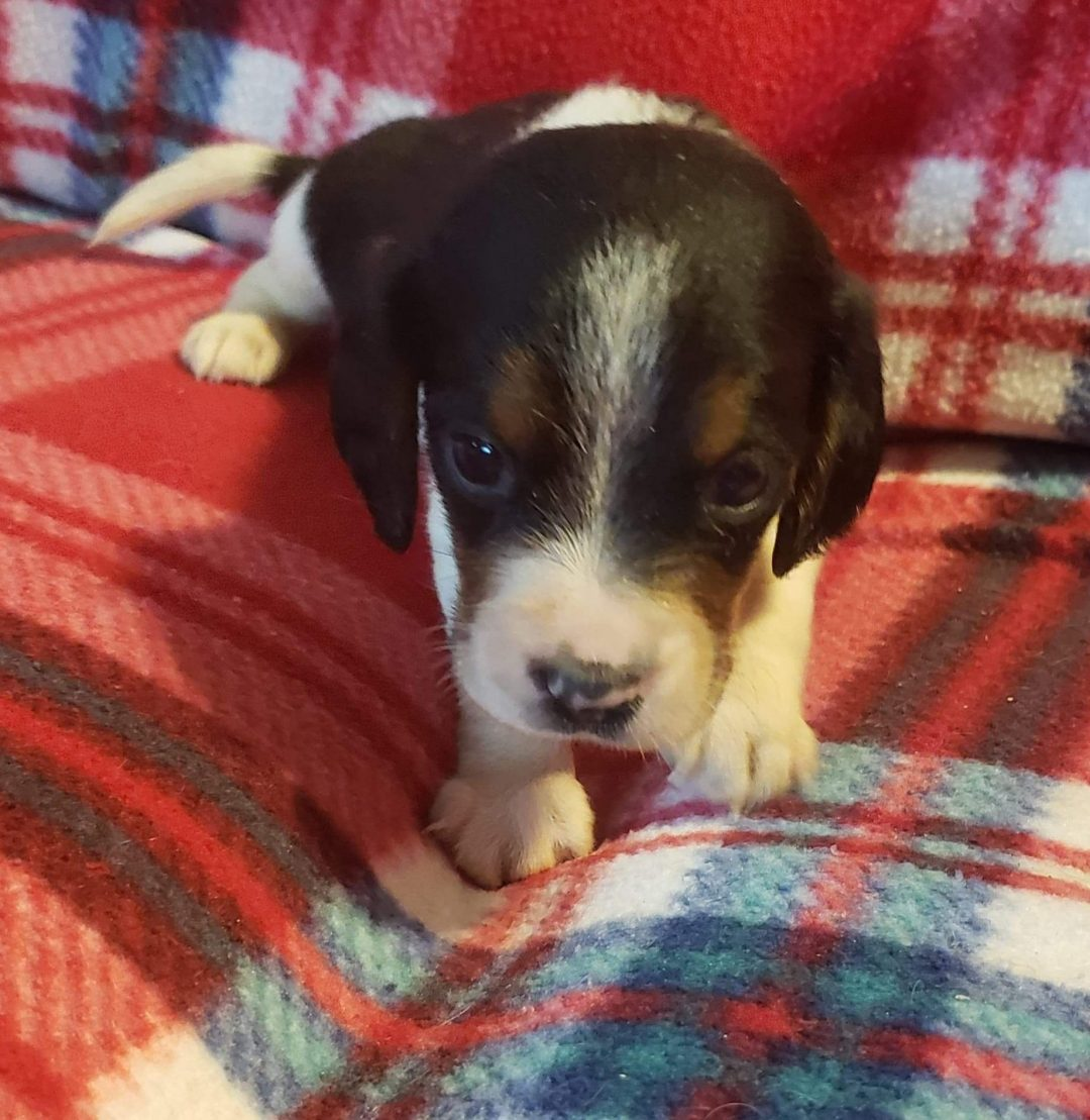 Abe - Beagle puppy for sale at Sunbury, Pennsylvania