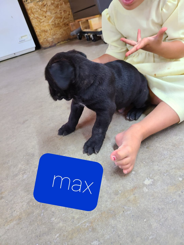 Max - ICCF Cane Corso doggie for sale in Grabill, Indiana