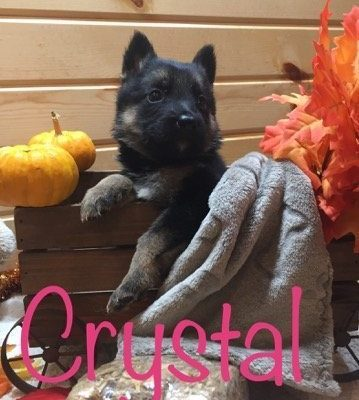 Crystal - AKC German Shepherd puppy for sale at Grabill, Indiana
