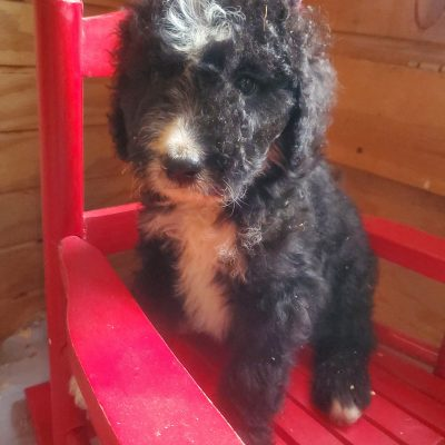 Tucker - Bernedoodle puppies for sale