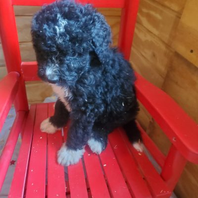 Trent - beautiful Bernedoodle pup for sale
