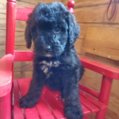 Toby - Bernedoodle pups for sale