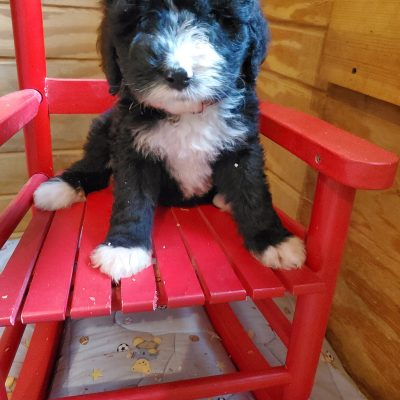 Tasha - female Bernedoodle puppy for sale