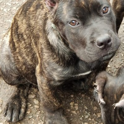 Joker - pupper Cane Corso for sale near Boston, Massachusetts